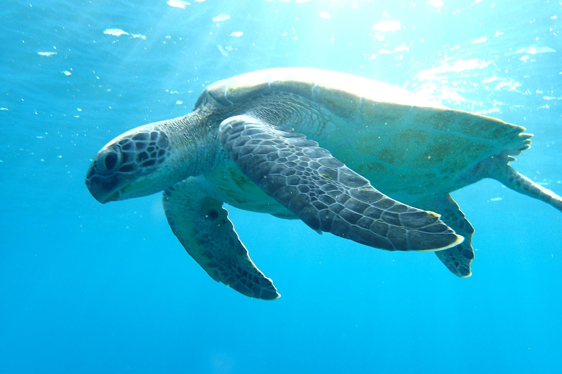 sea turtle swimming in blue ocean