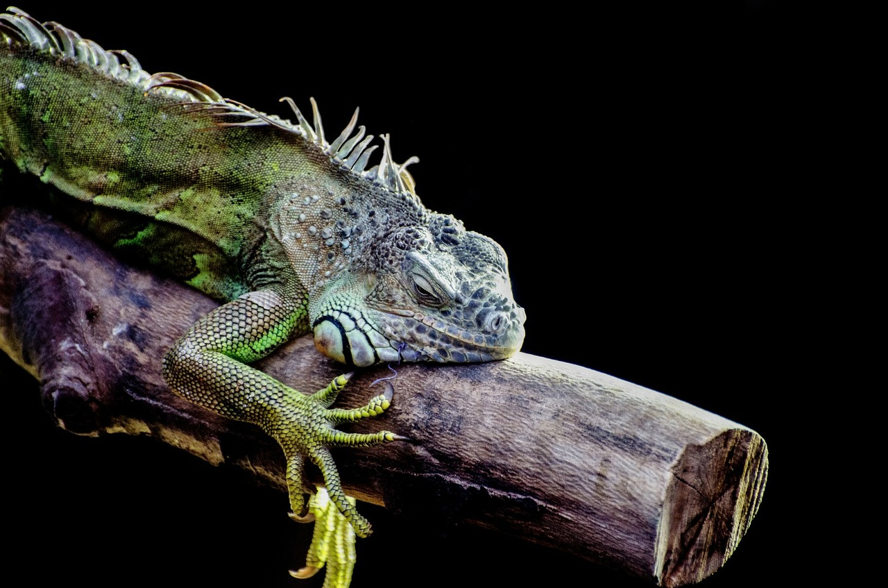 a green colored iguana lying on a tree branch