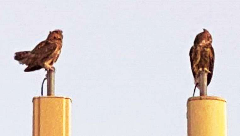 Great Horned Owls on cell tower