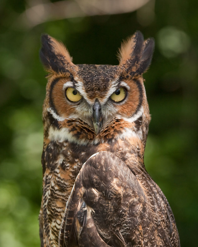 photo of great horned owl, courtesy of wikipedia