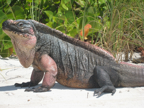 Photo of single iguana on white bay cay