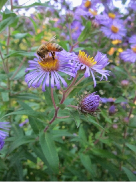 photo of a purple flower Purple Dome Aster