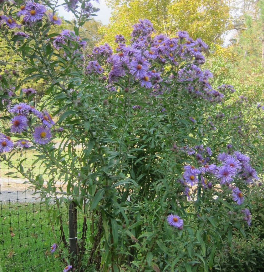 photo of new england aster flower