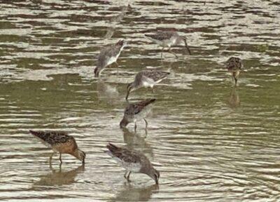 photo of sanderling birds on Florida beach